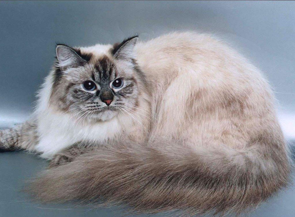 Невская маскарадная порода кошек
