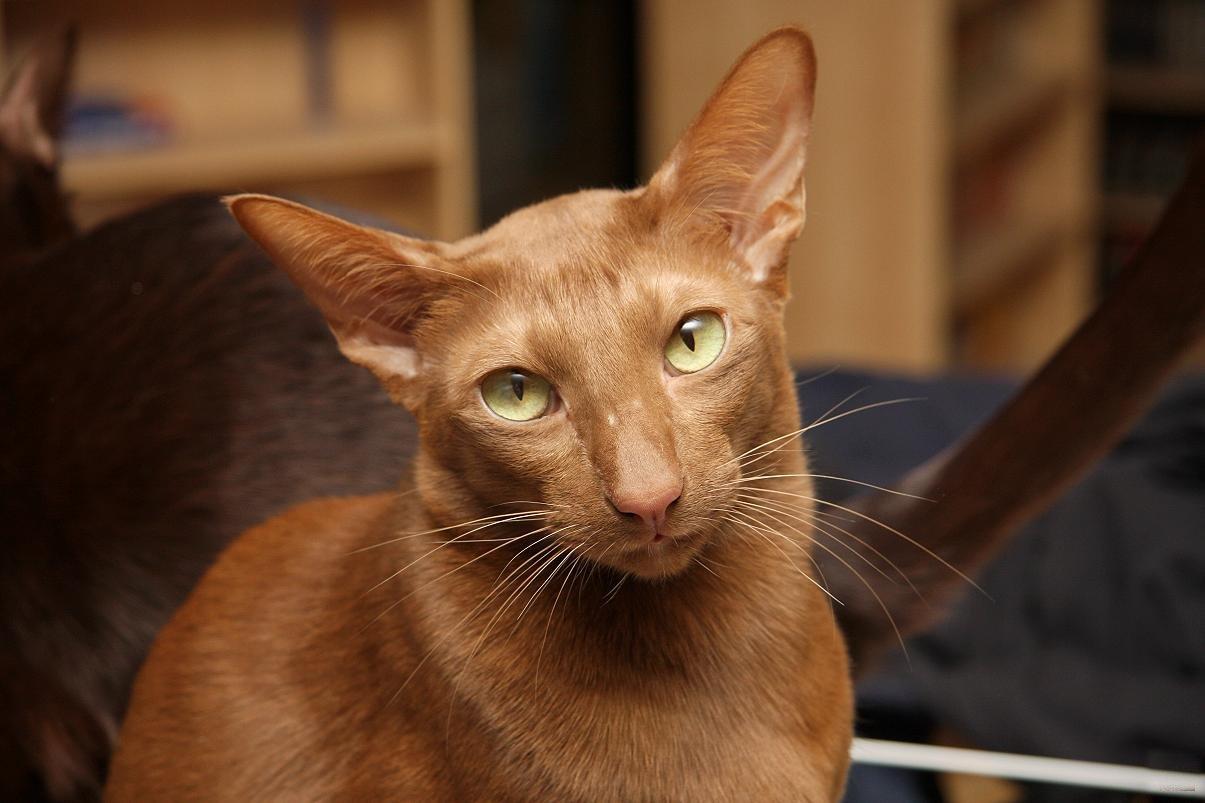 Кошки Гавана Браун