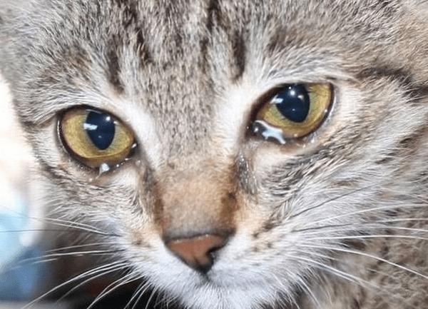 Конъюктивит у кошек