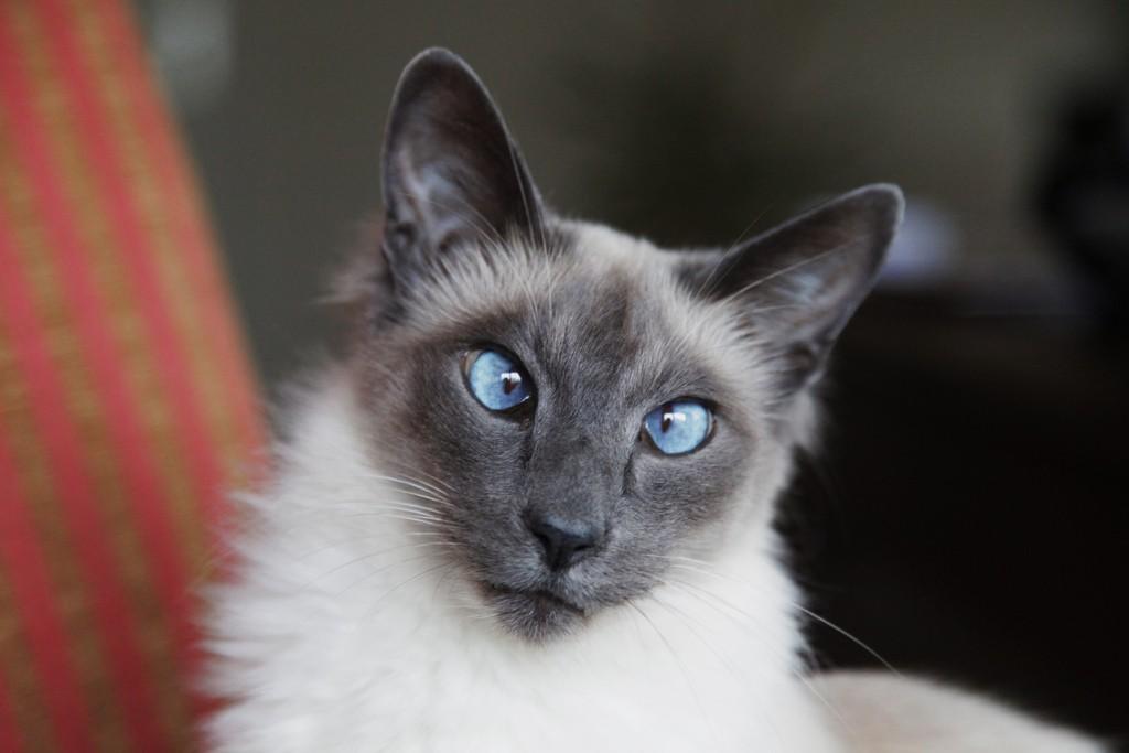Кошка породы Балинез