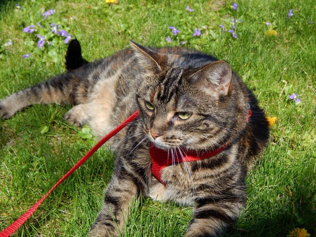 Азиатские кошки окраса табби