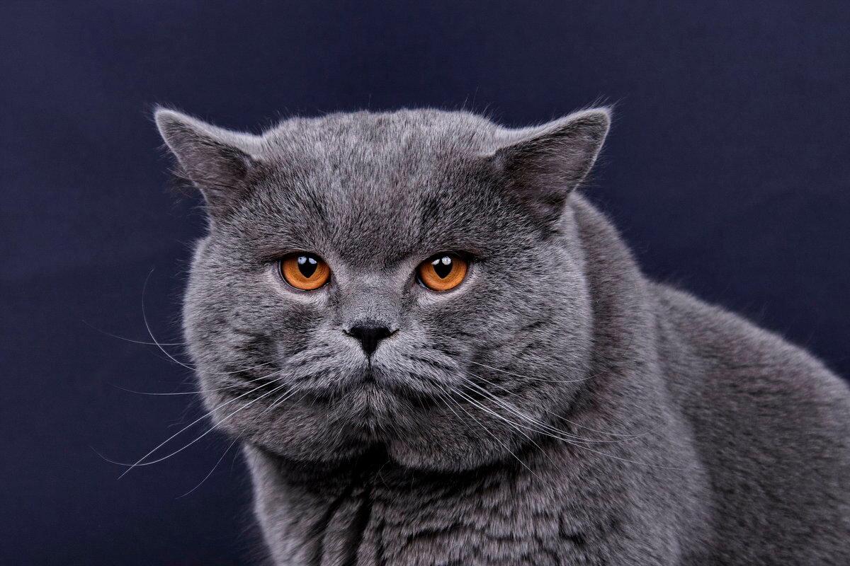Британские короткошерстные кошки
