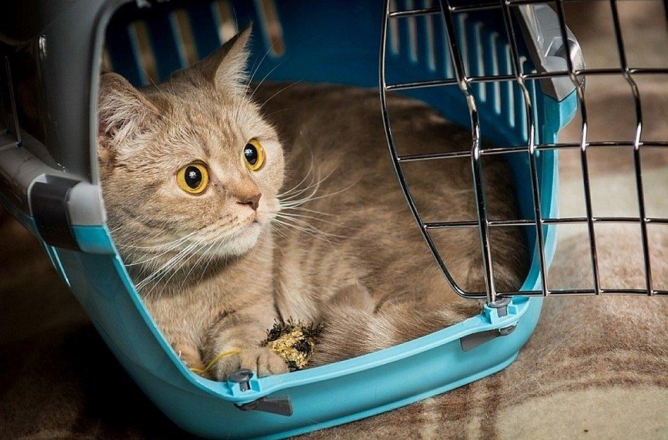 Как подготовить кошку к поездке