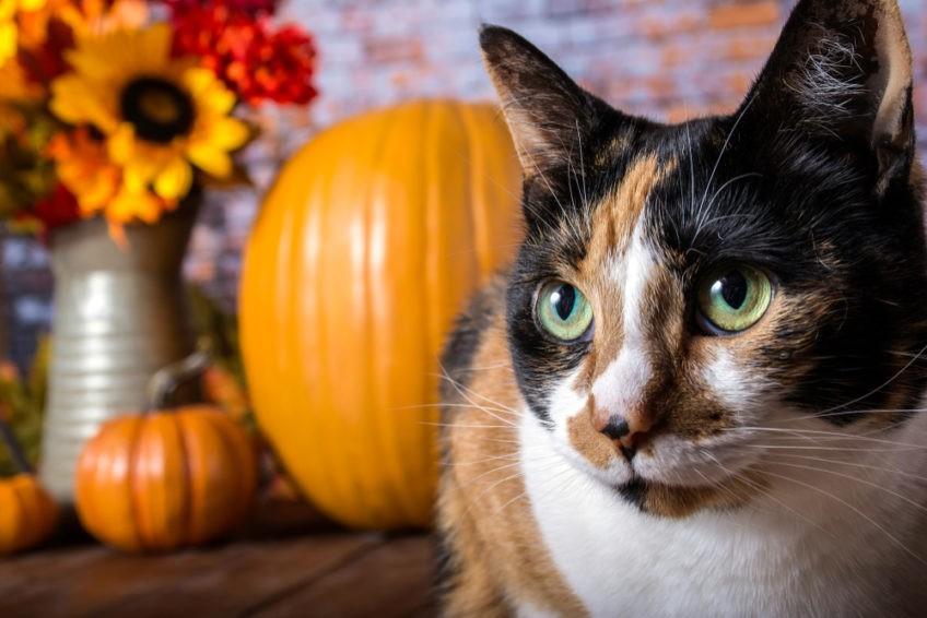 Можно ли кошкам тыкву?