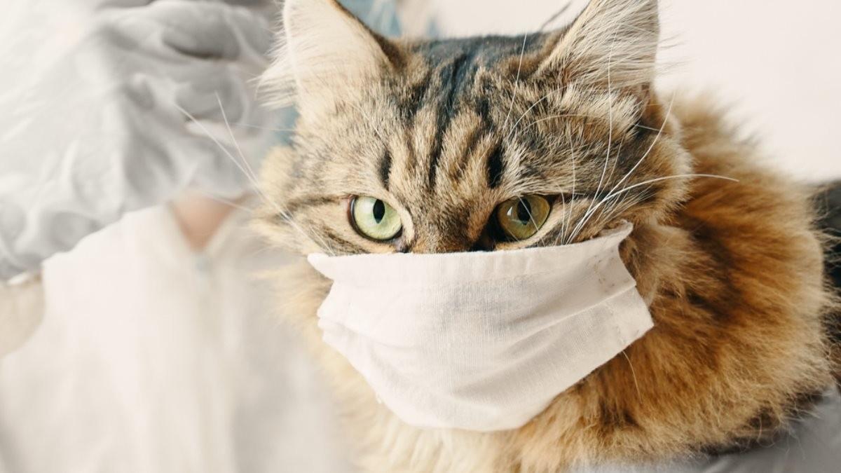 Коронавирус у кошек 2020
