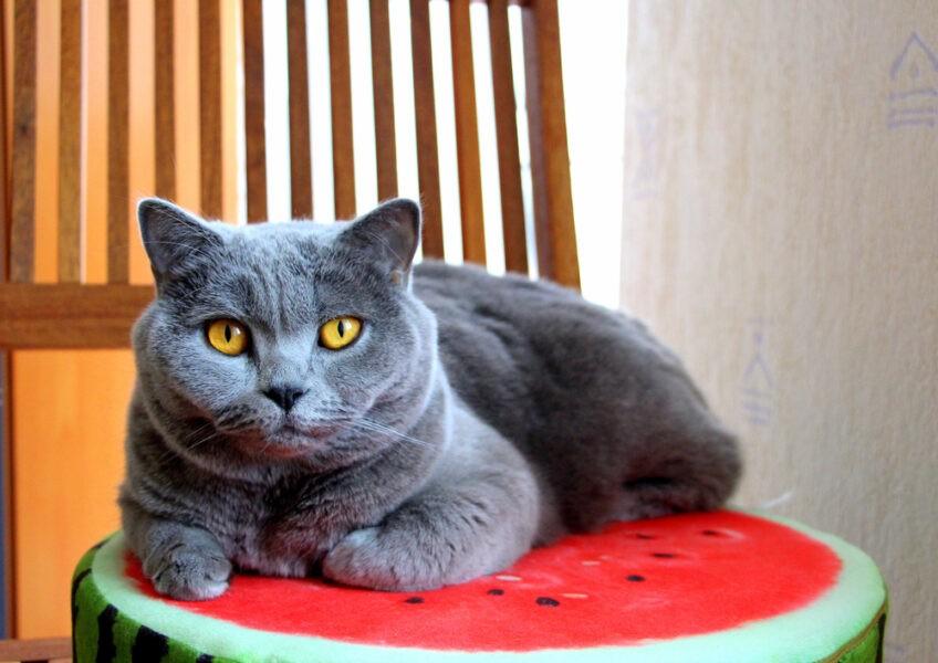 Можно ли кошкам арбуз?
