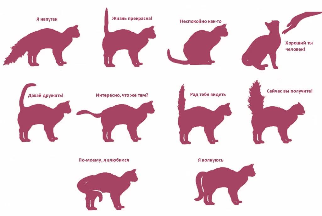 Почему кошка виляет и машет хвостом?