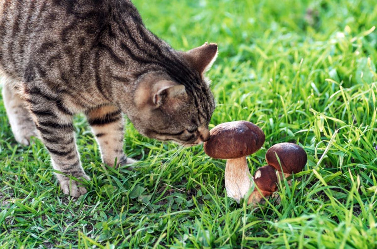 Можно ли кошкам давать грибы?