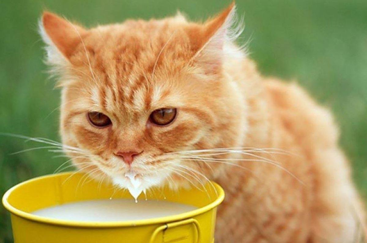 Можно ли давать сметану котятам?