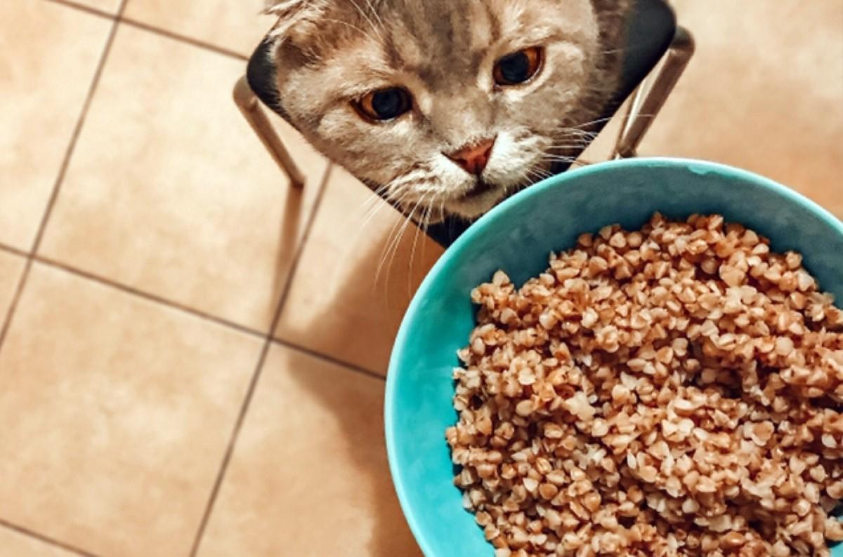 Можно ли кошке давать гречку?