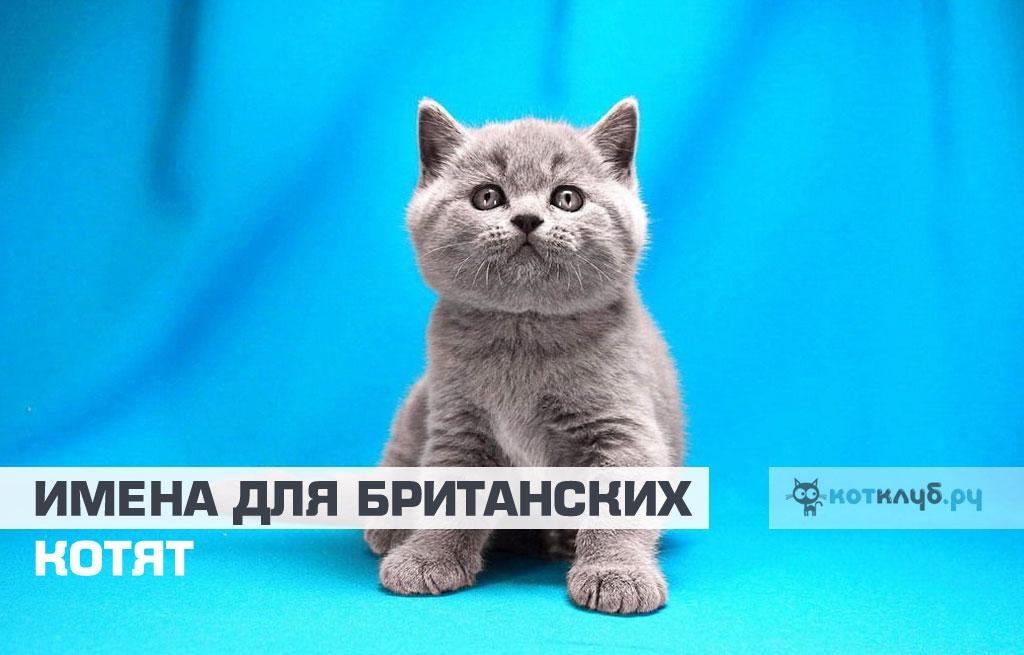 Имена для британских кошек и котов