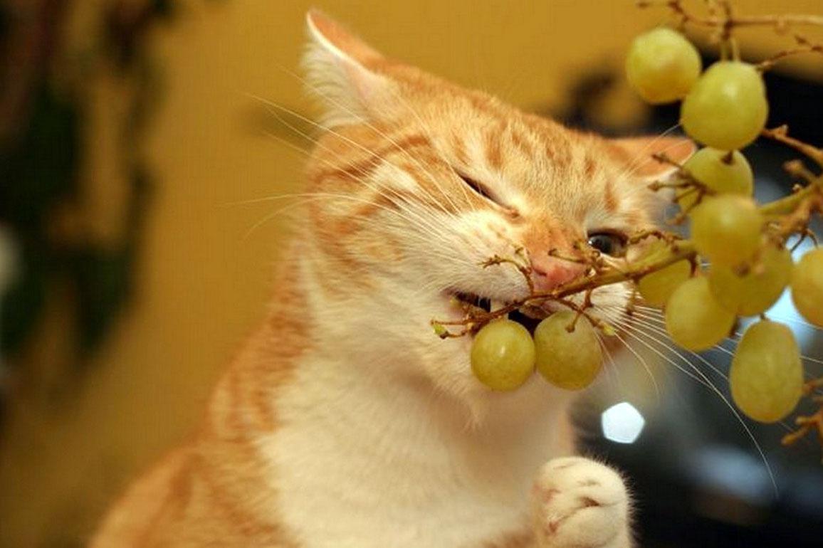 Можно ли кошкам виноград и изюм?