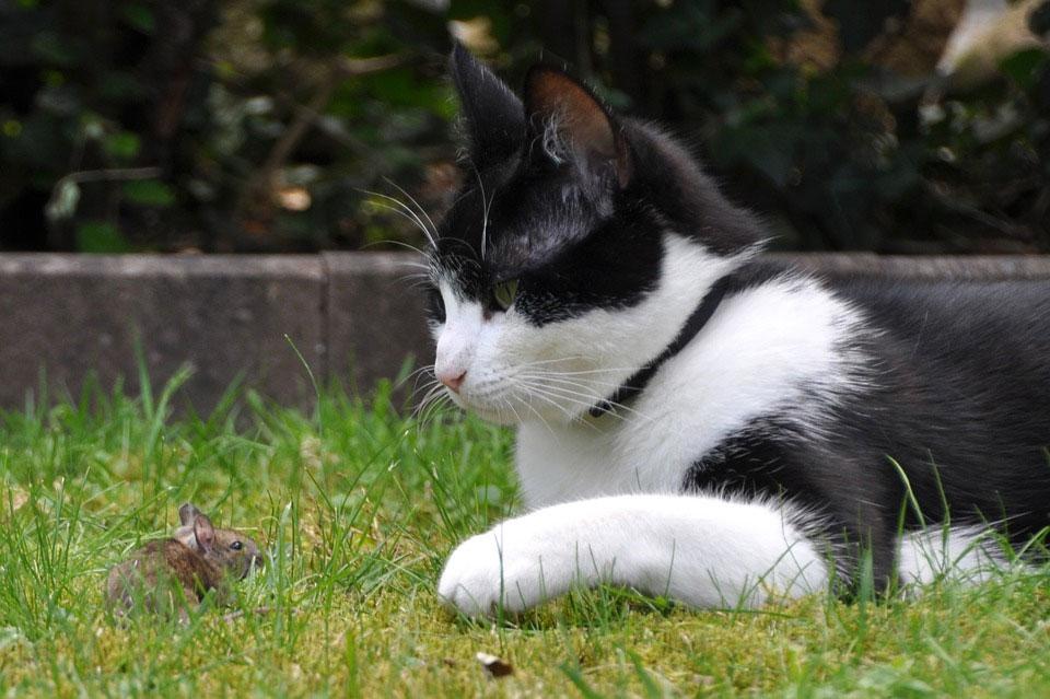Почему кошки едят мышей?