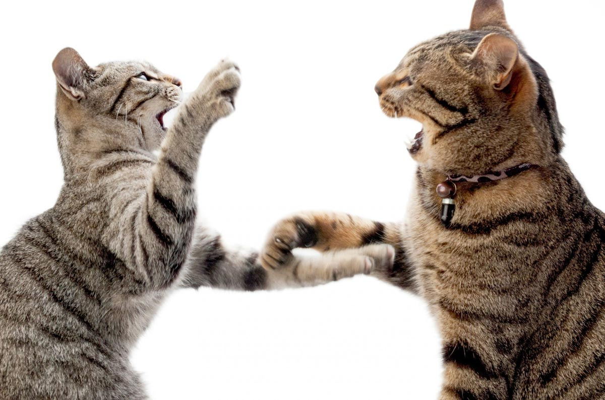 Почему кошки дерутся между собой и как их подружить?