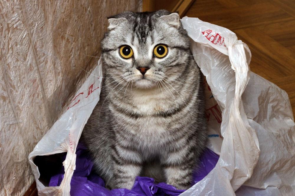 Кот лижет и ест пакеты?