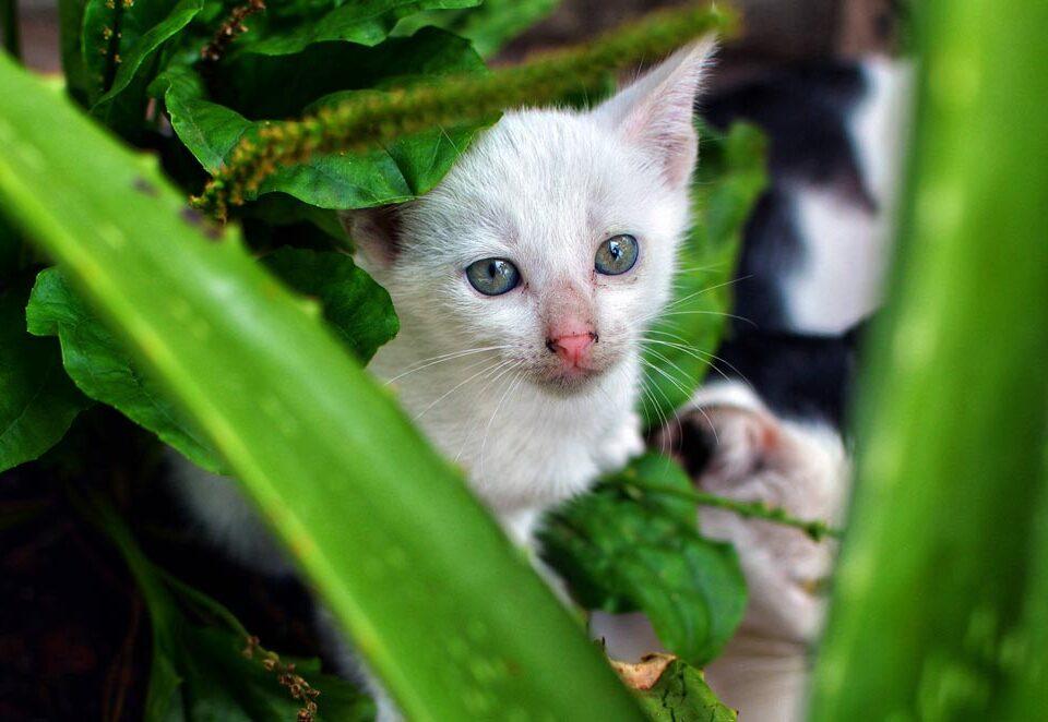 Опасно ли алоэ вера для кошек?