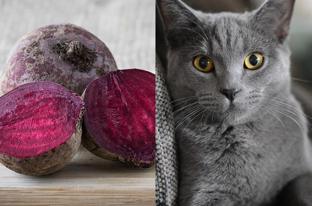 Можно ли кошкам давать свеклу?