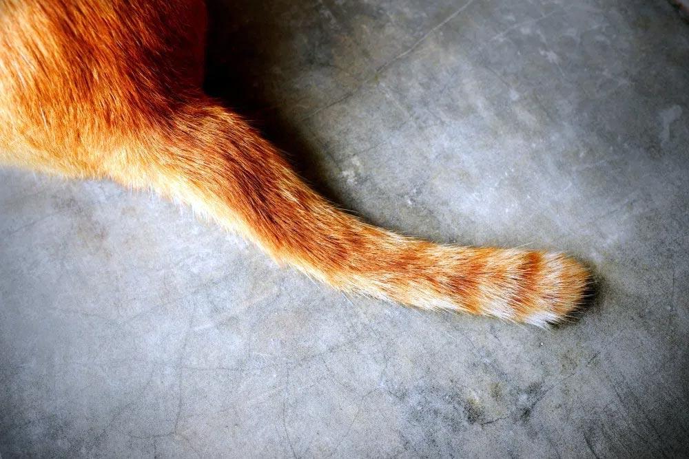 Почему у кошки дрожит хвост?